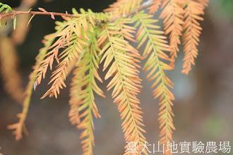 Photo: 拍攝地點: 梅峰-一平臺 拍攝植物: 水杉 拍攝日期:2012_10_28_FY