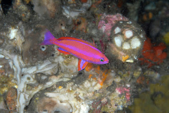 Photo: Randall's Anthias, male - Pseudanthias randalli (named for Hawaii's own Jack Randall)