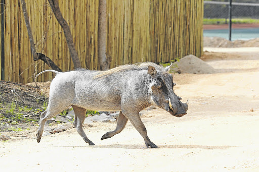 IT TAKES ALL KINDS: A warthog at the gate,