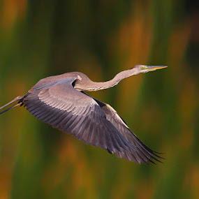 Grey Heron Take Off  by Sharad Agrawal - Animals Birds ( bird, nature, rajasthan, wildlife, india, birds, bif )
