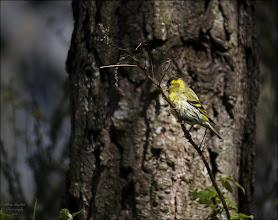 Photo: Bird N°14 - Siskin ♂  ...  ..  .  Latin: Carduelis spinus