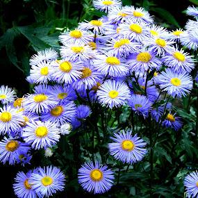 ASTERS by Wojtylak Maria - Flowers Flower Gardens ( blooming, asters, violet, flowers, garden )