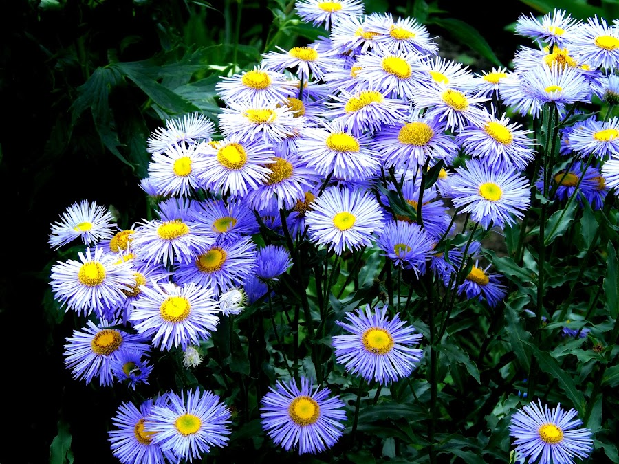 ASTERS by Wojtylak Maria - Flowers Flower Gardens ( blooming, asters, violet, flowers, garden )