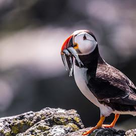 Lone Puffin by Andrew Gasiorowski - Animals Birds ( rocks, puffin, bird, sand eel, scotland,  )