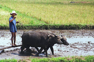 Photo: Ploughman and ox in Mekong Delta region