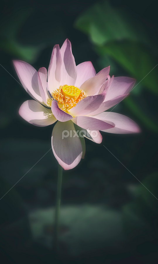 Summer sign by Robert Fawcett - Flowers Single Flower ( lotus, aquatic, nature, travel, places, flowers )