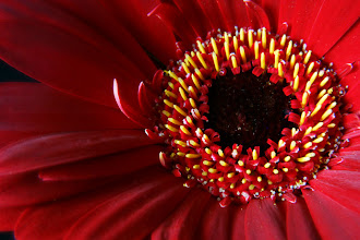 Photo: Red Gerbera - prints/cards available here - http://www.inspiraimage.com/index.php/gallery/flowers/216-red-gerbera