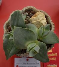 Photo: Cheiridopsis peculiaris