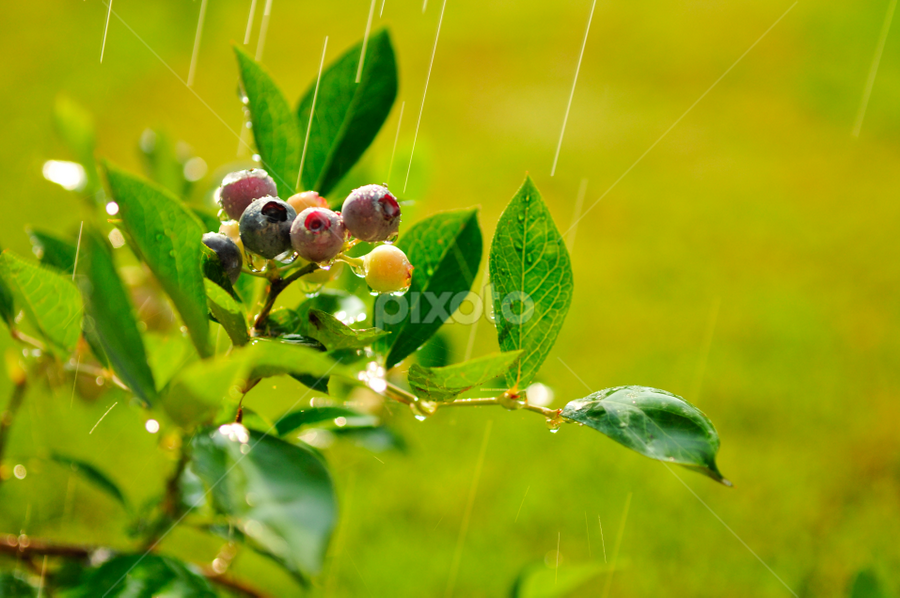 Blueberries welcome the morning rain by Todd Lester - Nature Up Close Flowers - 2011-2013 ( green, bluberries, raindrops, morning, highlights, rain, sun, droplets )