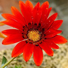 Gazania rouge by Gérard CHATENET - Flowers Single Flower