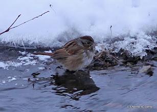 Photo: Swamp sparrow