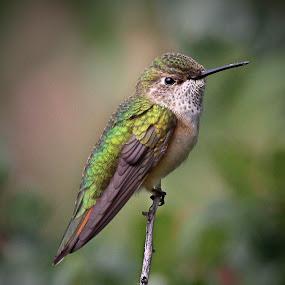 Balance! by April Nowling - Animals Birds ( bird, nature, hummingbird, wildlife, hummer,  )
