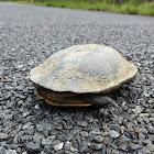Eastern Long-necked Turtle (male)