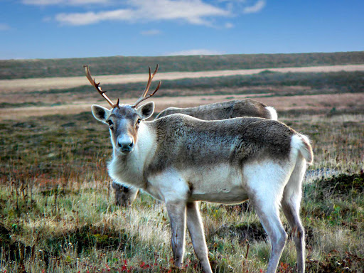 A woodland caribou near Cape Race in southeastern Newfoundland.