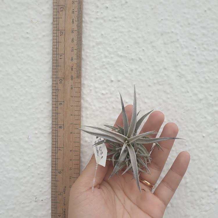 Tillandsia Chiapensis Clump