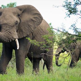 Big Bull by Hannes van Rooyen - Animals Other Mammals ( elephants, adult, tusks, bull,  )