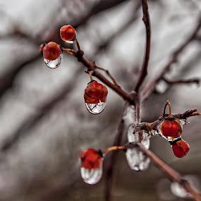 Icy Berries by James Wayne - Nature Up Close Natural Waterdrops ( macro, winter scene, water drops, winter, nature, ice, close up )