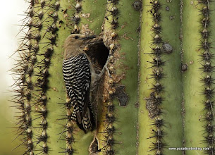 Photo: Adult female Gila Woodpecker at nest in a saguaro cactus, Green Valley, Arizona