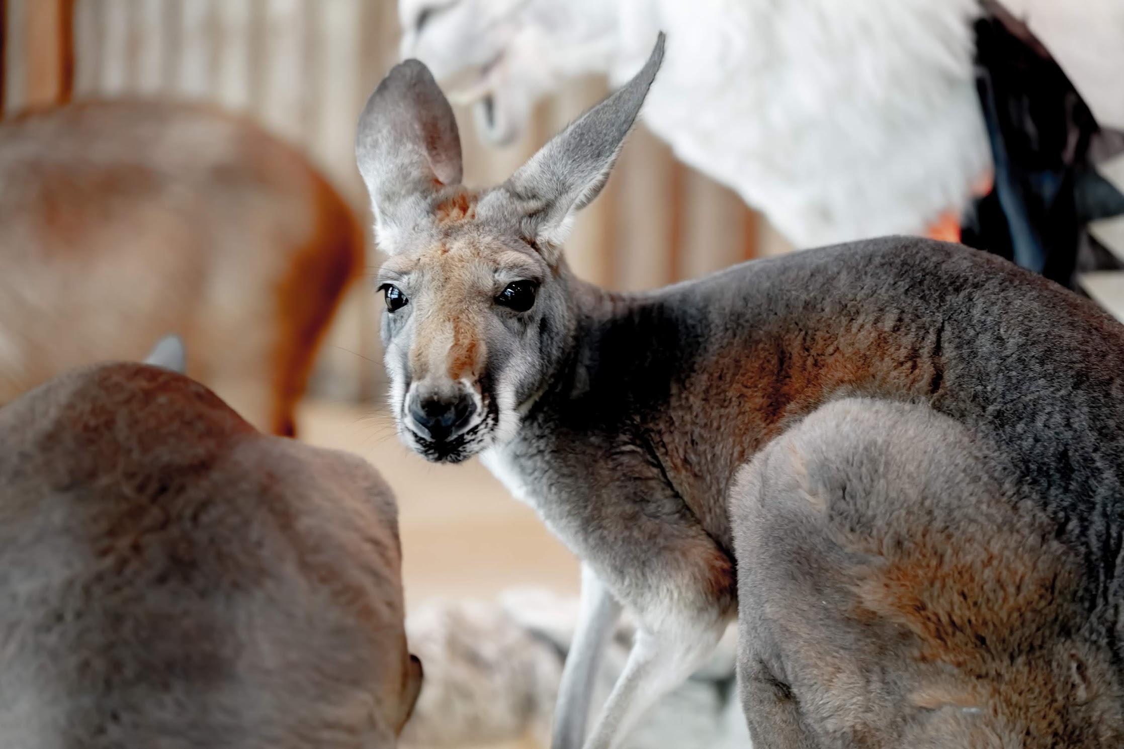 Tenpozan Anipa kangaroo2
