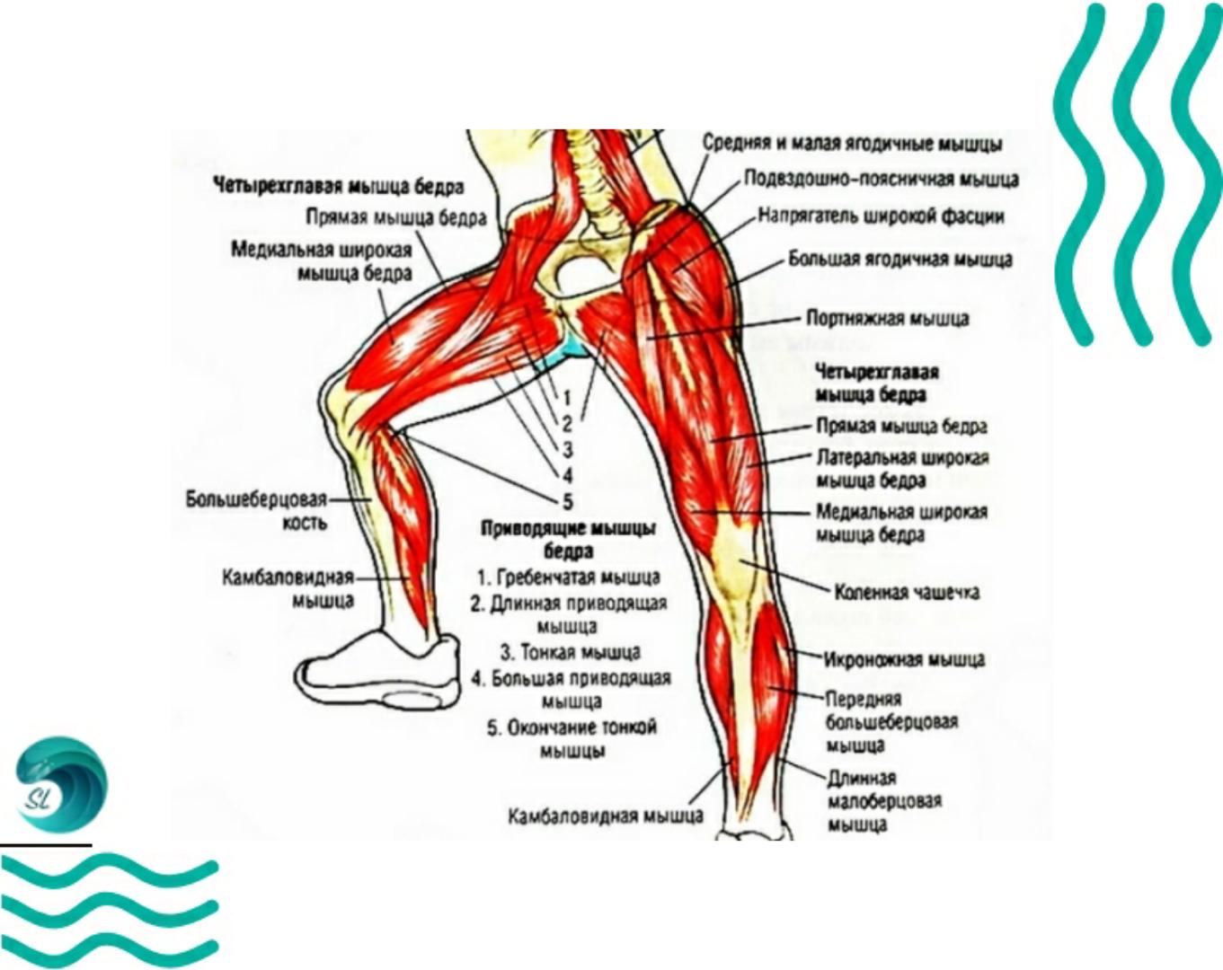 Мышцы ног при плавание брассом