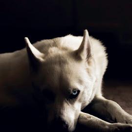 The Blue Eyed White Wolf by Cameron Tendler - Animals - Dogs Portraits ( blue eye, husky, wolf, white dog, dog )