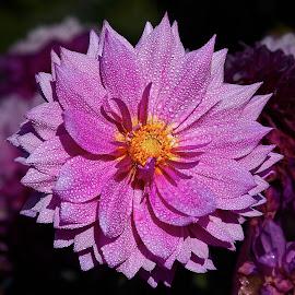 Dahlia 8606~ 1 by Raphael RaCcoon - Flowers Single Flower
