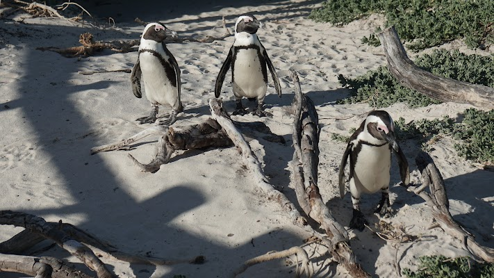 Brillenpinguine am Boulders Beach in Simons Town