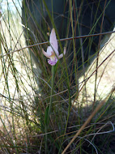 Photo: Pogonia ophioglossoides (Orchid) near Sumatra (Florida Panhandle).