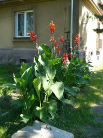 Paciorecznik ogrodowy odmiana z czerwonymi liśćmi Canna generalis
