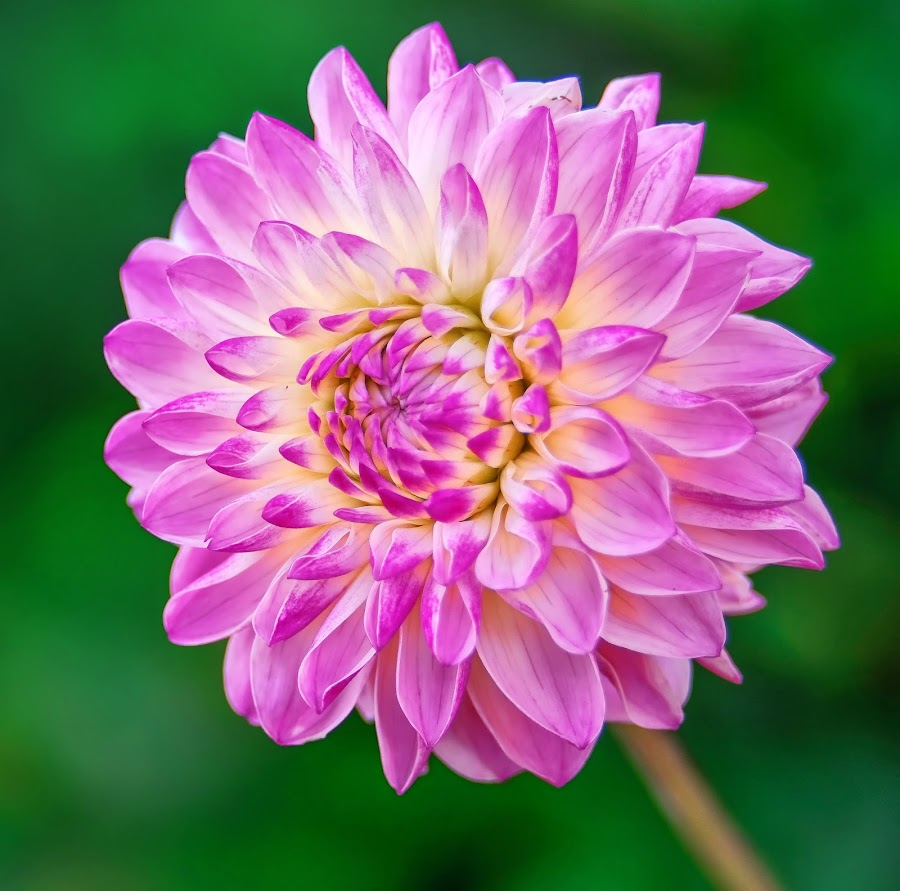 Purple and white Dahlia by Jim Downey - Flowers Single Flower ( green, white, dahlia, yellow, purple )