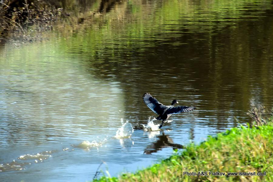 Птицы Израиля. Экскурсия в природный заповедник Хула.