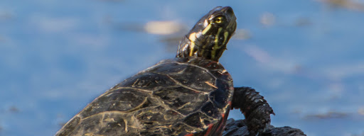 Painted Turtle (Chrysemys picta), Sitting on a trunk, just outside the water, enjoying the sun meanwhile ready to escape back into the water anytime., Park Angrignon, Montreal, 2015/10/04