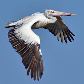 Spot-Billed Pelican by Ramachandran Madhavankutty - Uncategorized All Uncategorized ( koonthankulam, bird flight, spot-billed pelican, ramachandran madhavankutty photography, swimming bird, grey pelican, pelecanus philippensis, water bird )