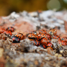 Ladybirds by Niamh Holman - Nature Up Close Hives & Nests ( macro, red, nature, bugs, ladybirds, insects )