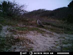 Photo: A Northern Harrier male.