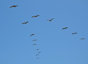 Photo: 106. Pelicans in V-formation.