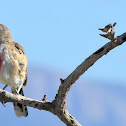 Rosy-patched Bush-shrike