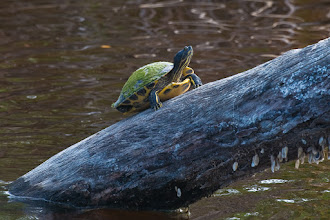 Photo: Turtle on log; Bailey's tract