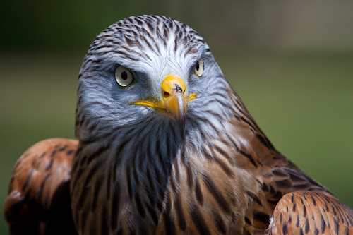 Face of the Kite by Gordon Bishop - Animals Birds ( wing, kite, feather, talon, hawk, eyes, bird, carnivore, fly, wings, meat, raptor, eater,  )