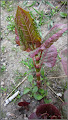 Photo: Iulişca (Fallopia japonica sau Polygonum polystachyum) - Planta de pe Str. Gheorghe Lazar - 2017.04.13 Album http://ana-maria-catalina.blogspot.ro/2016/11/planta-de-pe-malul-apelor.html