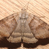 Forage Looper Moth - 8739