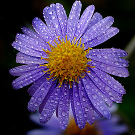 Drops on aster by Gérard CHATENET - Flowers Single Flower