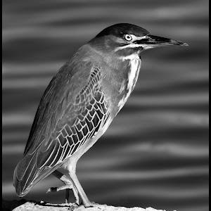 Green Heron-4.jpg