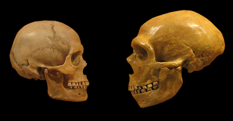 Fossil modern human (left) and fossil Neanderthal crania (right).