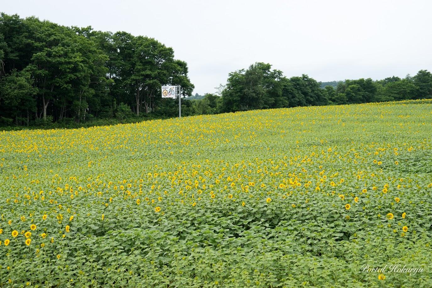 展望台から左の区画は5部咲き程
