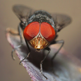 Strawberry Eye by Bhavya Joshi - Animals Insects & Spiders ( macro, fly, house fly, insects, eyes )