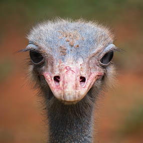 Ostrich by Brothers Photography - Animals Birds ( look, bird, staring, ostrich, close up, eyes, animal )