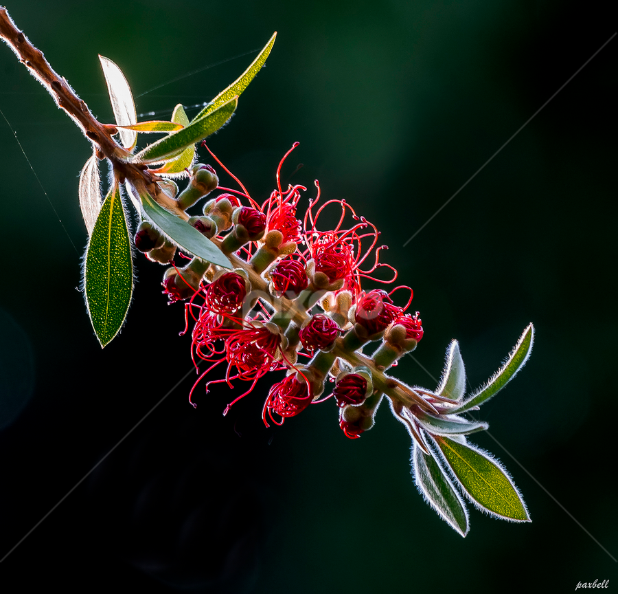 Bottle Brush by Pax Bell - Nature Up Close Flowers - 2011-2013 ( red, ruby red, flower )