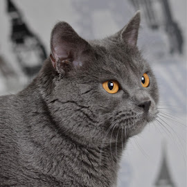 Hannibal 1212 by Serge Ostrogradsky - Animals - Cats Portraits