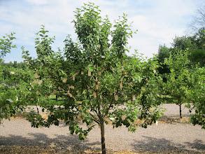Photo: Yoko Ono har lavet dette interaktive værk som består af 14 æbletræer, papirlapper med ønsker: 'Wish Trees for Wanås' - 'Write your wish on a piece of paper and hang it on a wish tree'.  I sit virke vender Yoko Ono altid tilbage til handlingen 'at ønske', og hun beskriver alle sine værker som 'ønsker'.  Alle ønsker, der bliver hængt på æbletræerne i Wanås, bliver på et tidspunkt sendt til 'Imagine Peace Tower'iIsland, hvor de bliver samlet sammen med ønsker fraandre dele af heleverden. Allerede nu er over 1 million ønsker samlet i Island
